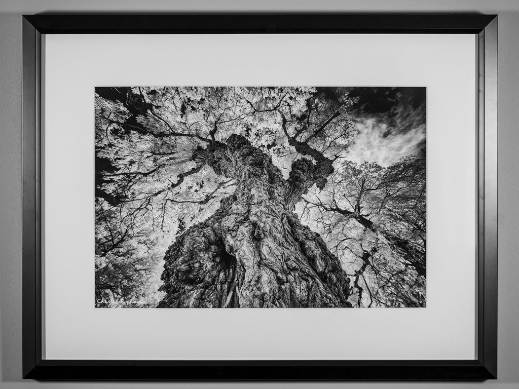 First Place! Charles Bonham - Warty Willow Tree, Photography $169